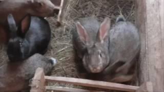 Кролики   содержание, уход и кормление  Как ухаживать, чем и как кормить кроликов