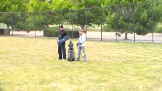 Neapolitan Mastiff In Training