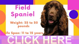 Dogs: Field Spaniel Breed Information And Personality