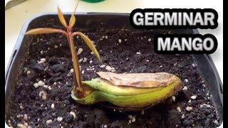 Como Germinar Y Sembrar Una Semilla De Mango || La Huertina De Toni