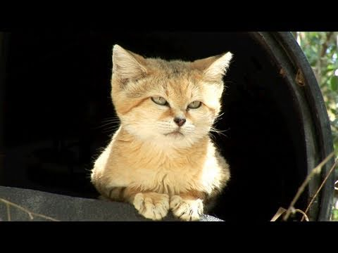 Thumbnail for Cat Video Cutest Wild Cat