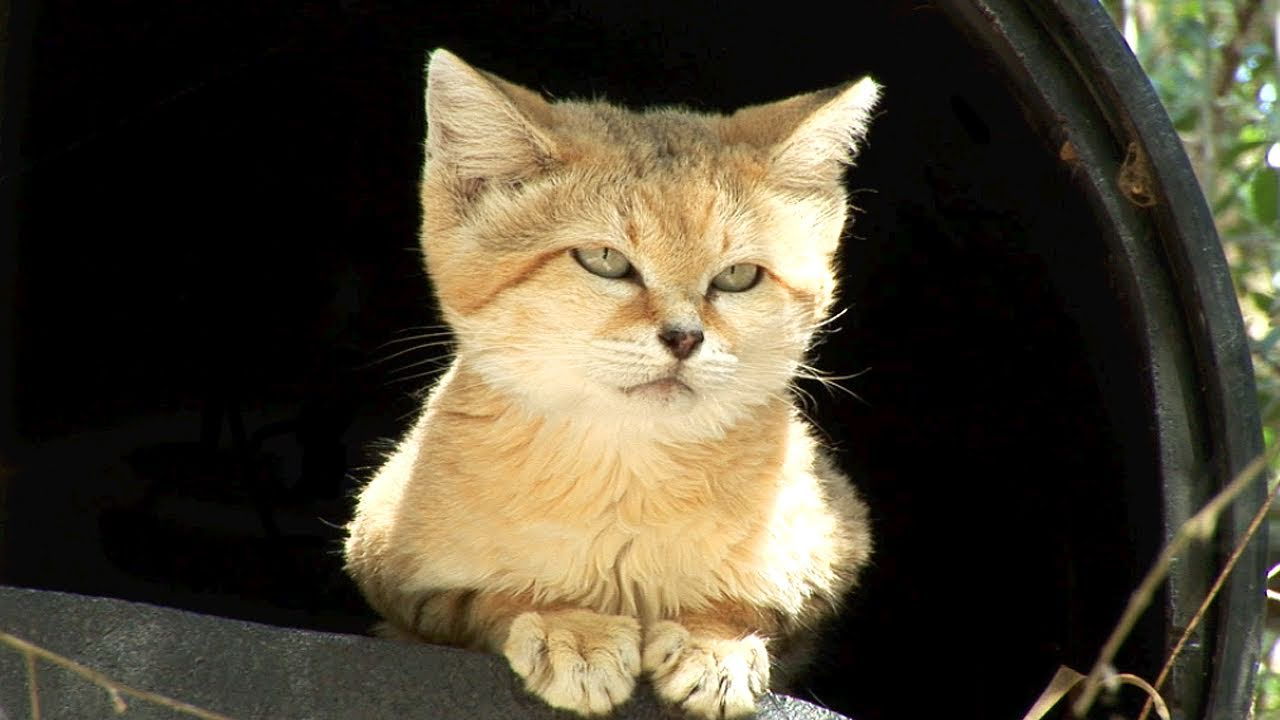 Cute Pet Animals Wallpapers Meet Canyon The Sand Cat Youtube