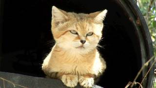 Meet Canyon the SAND CAT!
