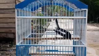 Suara Burung Kacer Monoton