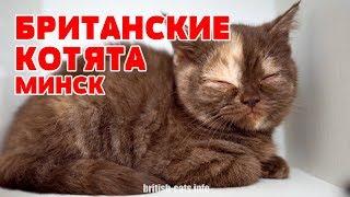 Британские Котята в Минске из Питомника. Купить в Минске британца с родословной.