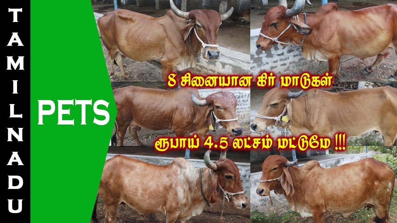 8 சினையான கிர் மாடுகள் விற்பனைக்கு || Gir cows for sale || Tamilnadu Pets || Tamil