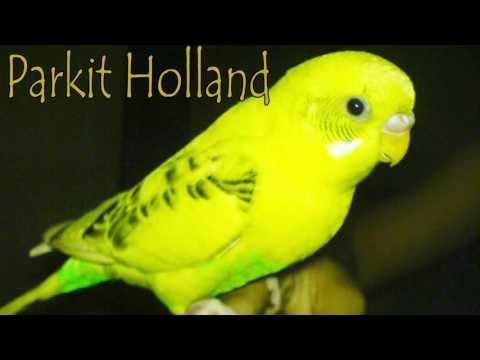 Download Suara Burung Parkit Holland Untuk Masteran Burung Kacer