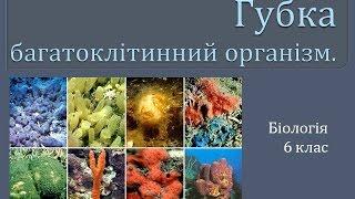 Губки  - багатоклітинні організми.
