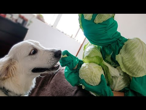 Funny Dog vs Cabbage Man Prank: Cute Golden Retriever Bailey