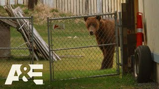 Alaska PD: Bear Removed by Kodiak Police (Season 1) | A&E