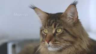 Влажные корма Royal Canin для породных кошек