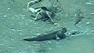 トビハゼ。干潟の泥上を這い回る魚。葛西臨海水族園。 ーネットのしじま...