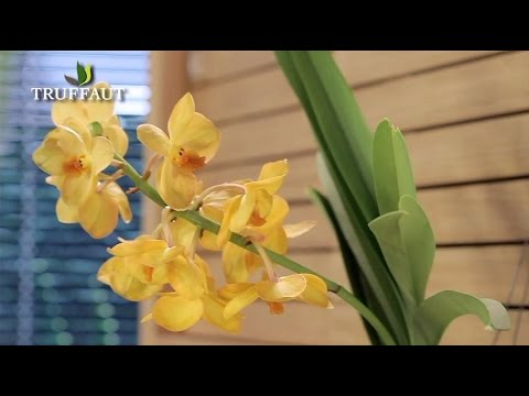 Comment Entretenir Une Orchidee Jardinerie Truffaut Tv Youtube