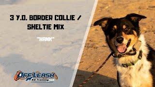 BORDER COLLIE  SHELTIE MIX / DOG TRAINING