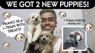 NEW POODLE SPITZ PUPPIES! (Pwede na ba sila itrain with treats? Japanese Spits x Poodle)
