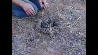 Death defying: Man kisses rattlesnake