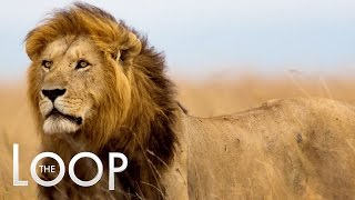 Zimbabwe Wants Cecil the Lion