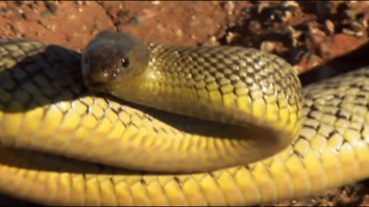 The most venomous snake on earth! | Deadly 60 | BBC