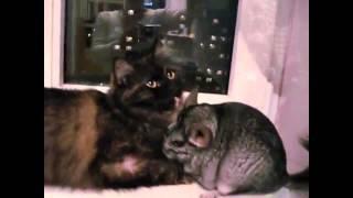 Бесподобные кошки - Funny cats. Нежные отношения кошки и шиншиллы:)