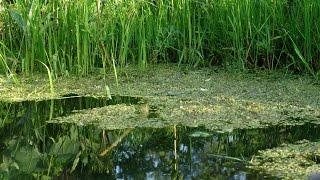 Ряска -  болотное растение