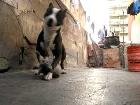 pitbull vs gato ( terry y leon )