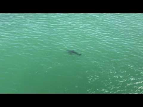 Great White Shark Seal Beach California May 8 2017