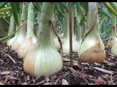How to grow Onions. My best ever Big Onion Harvest. Organic onions grown in a raised bed.