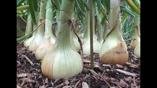 HGV How to grow Onions. My best ever Big Onion Harvest. Organic onions grown in a raised bed.