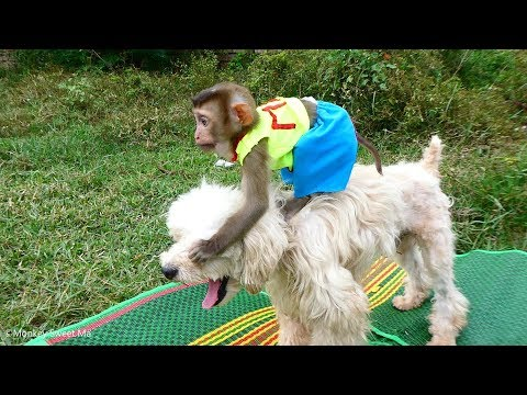 Amazing Baby Monkey Sweet Ma Riding On Smart Dog, They 're Happy Together