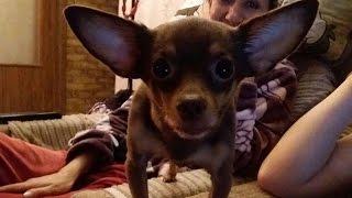 Той терьер - самые добрые или самые злые собаки. Какие маленькие собаки?
