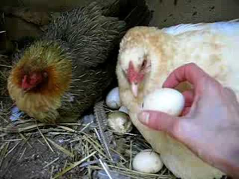 The Birth of a Chick