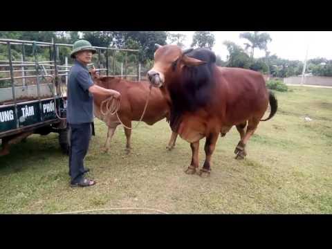 Clip sex...mua dâm cho bò