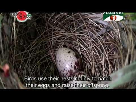 Nature and Life   Episode 66 Bird and Bird Nest