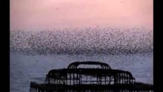 Starlings Murmuration Brighton: Frances Langley, West Pier, 2011 Music: Robert Caruso - Desert Sand