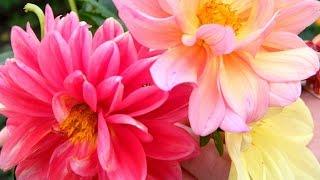 видео Сроки весенней посадки однолетних цветов