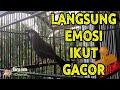 Poksay Hongkong Kicau Pagi Hari Buat Emosi Burung Lain Cocok Untuk Pancingan Pasti Nyaut Dan Gacor  Mp3 - Mp4 Download