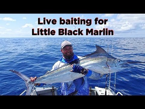 Live Baiting For Marlin Off The Gold Coast
