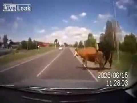 Kuh beim Sex angefahren - YouTube