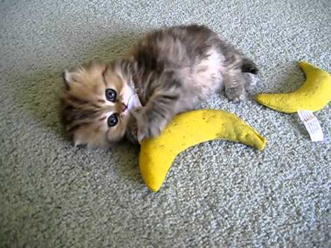 "Cute Persian kitten, India, with ""The Nip"" - 07.26.11 - YouTube"