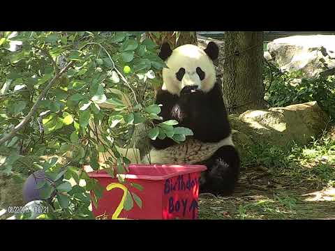 Bei Bei Celebrates His Second Birthday at the Smithsonian's National Zoo
