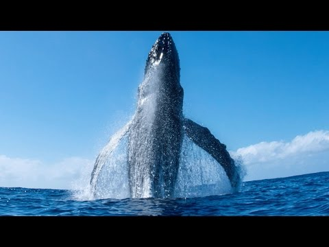 Incredible Humpback Whale Breach