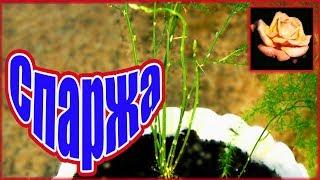 Как узнать самый простой способ размножения. Аспарагус. Комнатные растения. 🌿
