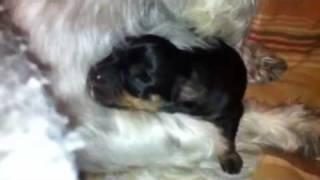 Mini Pinscher Shih Tzu Mix Puppy