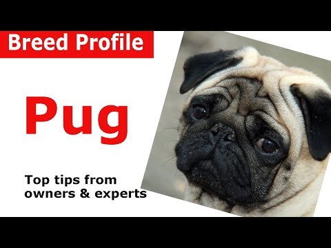 Pug dog breed guide