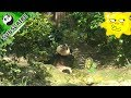 Nanny blocks the panda using his frozen magic | iPanda