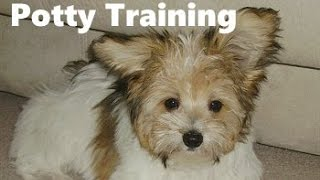 How To Potty Train A Papitese Puppy - Papitese House Training Tips - Housebreaking Papitese Puppies