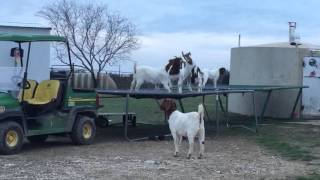 6 Goats Jumping on a Trampoline