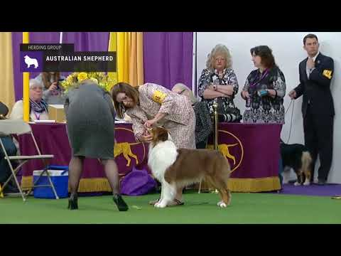 Australian Shepherds | Breed Judging 2019