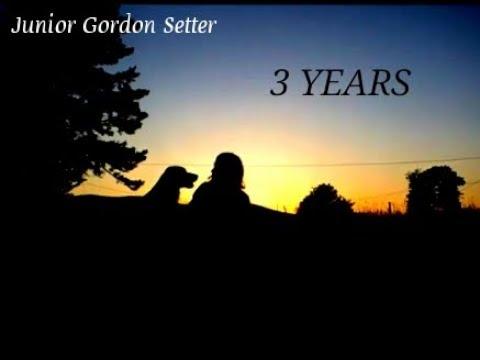 Junior Gordon Setter || 3 YEARS