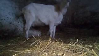 Dojenie kozy cz1